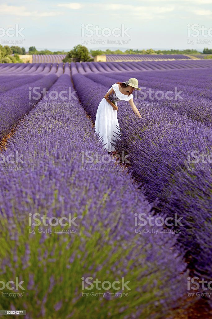 Beautiful young lady picking some blossoms in lavender field. stock photo