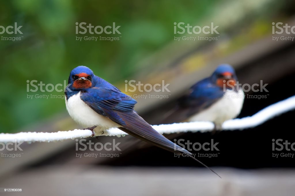 Beautiful young nestlings barn swallows (Hirundo rustica) on a wire. stock photo