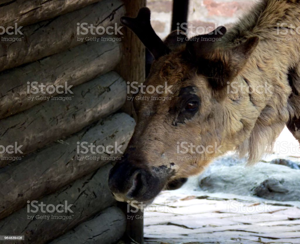 Beautiful young reindeer standing by the wooden cottage royalty-free stock photo