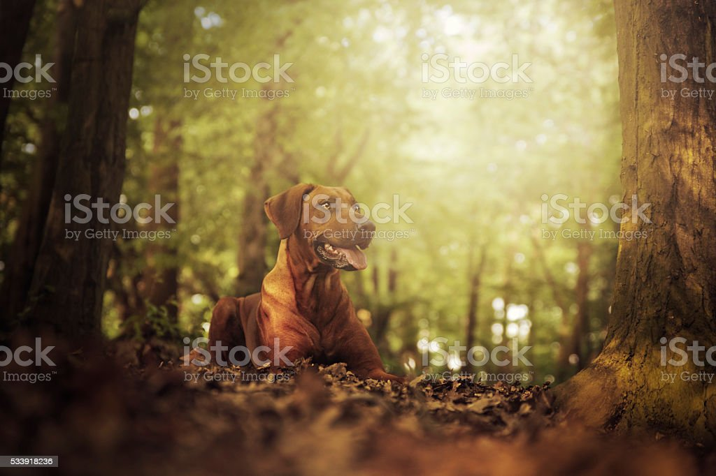beautiful young rhodesian ridgeback dog lying in sunset forest stock photo