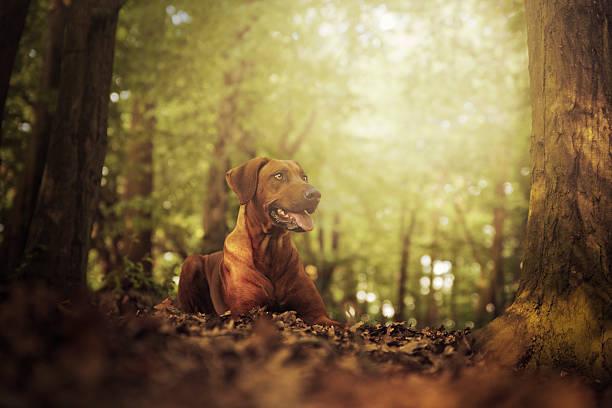 Hermosa joven ridgeback de rodesia perro yacer en bosque al atardecer - foto de stock