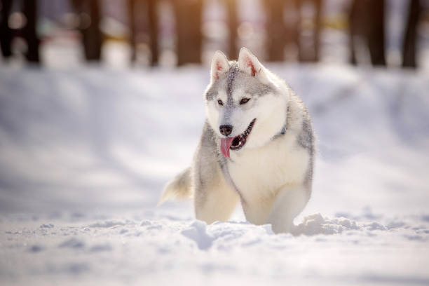 Beautiful young siberian husky plays in nature with snow picture id1040237832?b=1&k=6&m=1040237832&s=612x612&w=0&h=atwq8kqyn6wlxplekcpbnlh7rc1r7 atv8dlx5o7pz0=