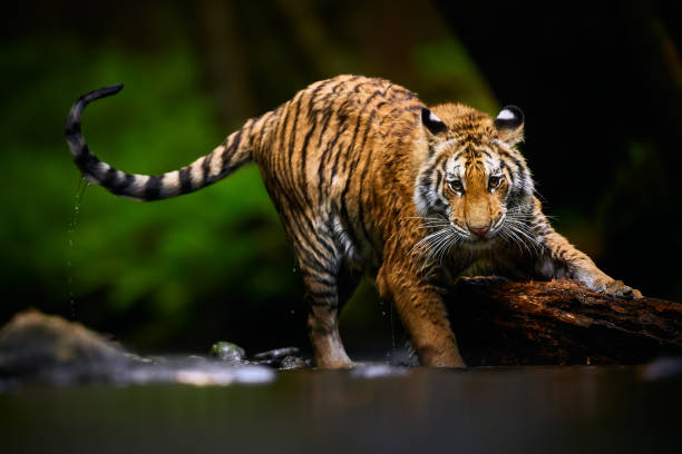 Beautiful young Siberian tiger -  Panthera tigris altaica is playing in the river with big wood. Action wildlife scene with danger animal. stock photo