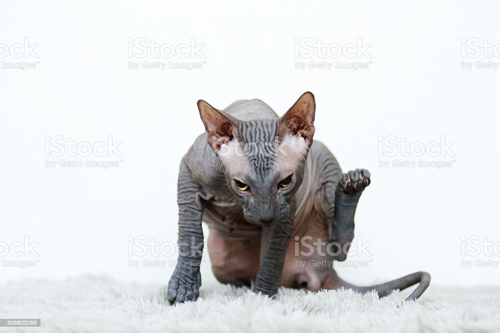 beautiful young sphynx cat scratches and cleans stock photo