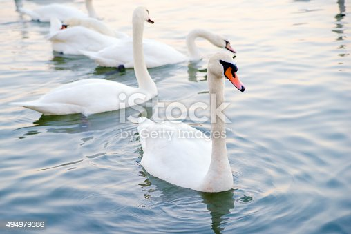 istock Beautiful young swans in lake 494979386