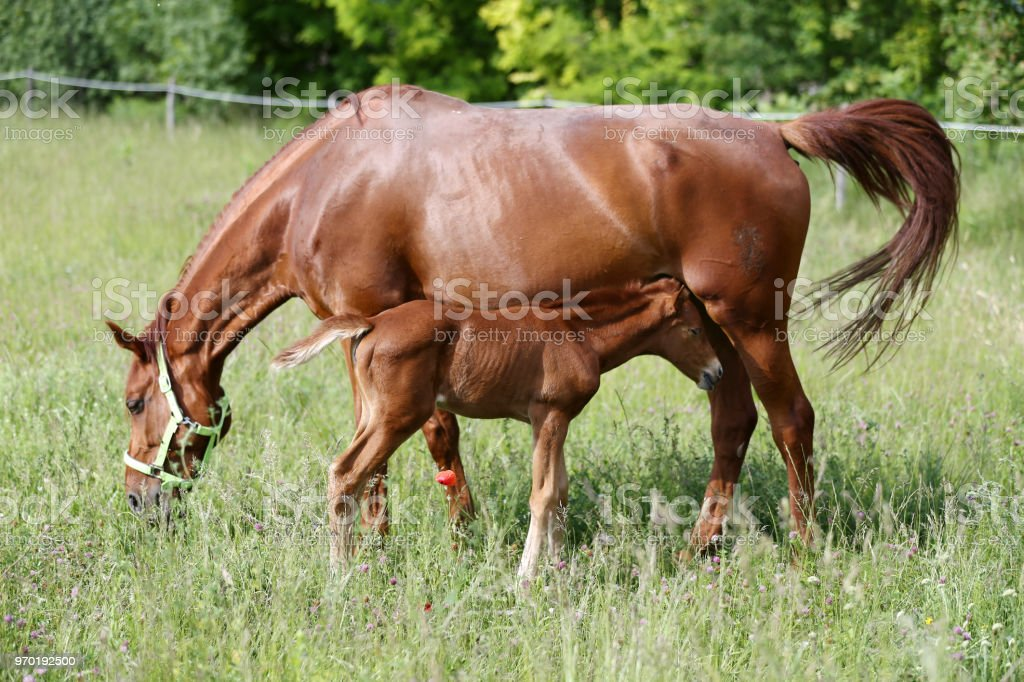 Beautiful young warmblood mare breastfeeding her newborn foal on summer pasture at rural animal farm stock photo