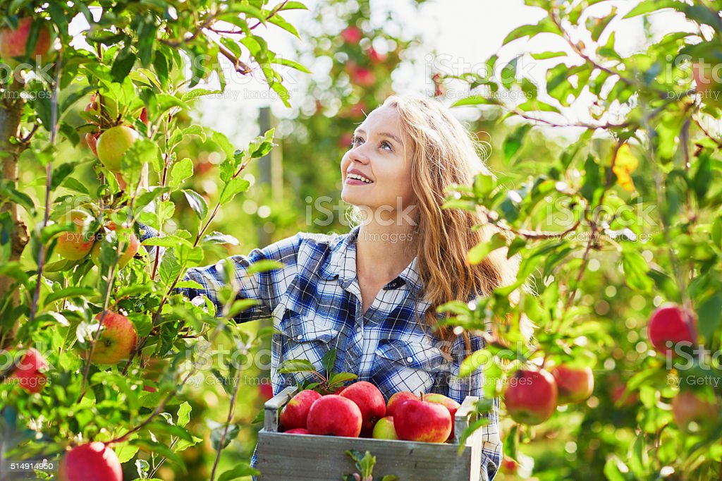 Beautiful young woman picking ripe organic apples stock photo