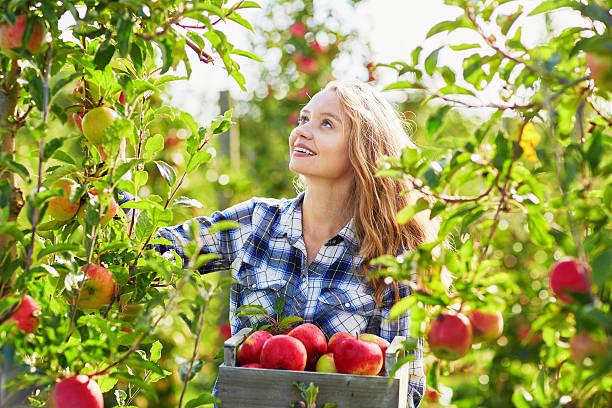 bela jovem mulher escolher maçãs orgânicas maduro - picking fruit imagens e fotografias de stock