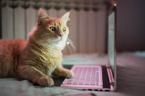 istock Beautiful young yellow Maine Coon cat working on laptop. 916511842