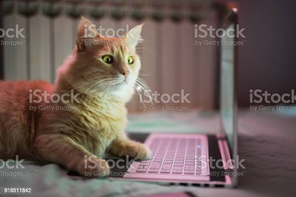 Beautiful young yellow maine coon cat working on laptop picture id916511842?b=1&k=6&m=916511842&s=612x612&h=m86gqz72r1pbfiwxvnpggeaf7xafff8q26vtmw2rfqe=