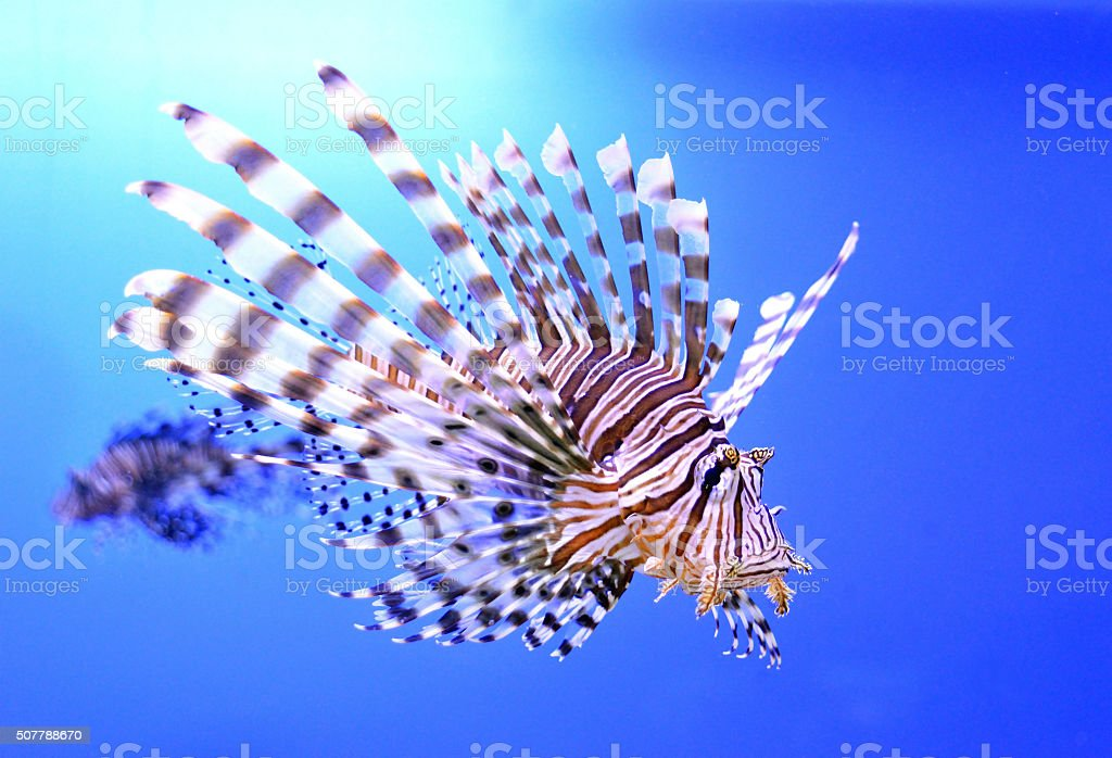 Beautiful zebra fish or striped lionfish in the aquarium stock photo
