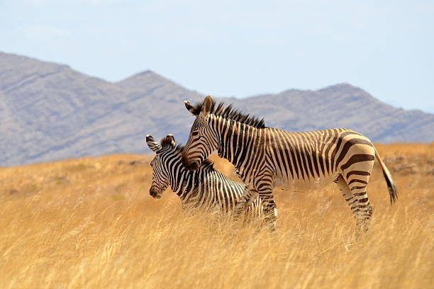 beautiful zebras in dry savanna Namibia stock photo