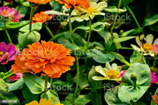 Mooie Ziniz Bloem In Tuin Stockfoto en meer beelden van Bloem - Plant