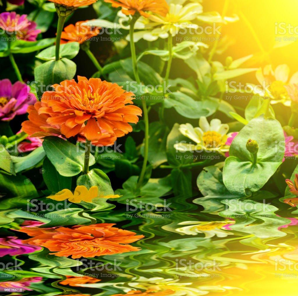 Mooie ziniz bloem in tuin - Royalty-free Bloem - Plant Stockfoto