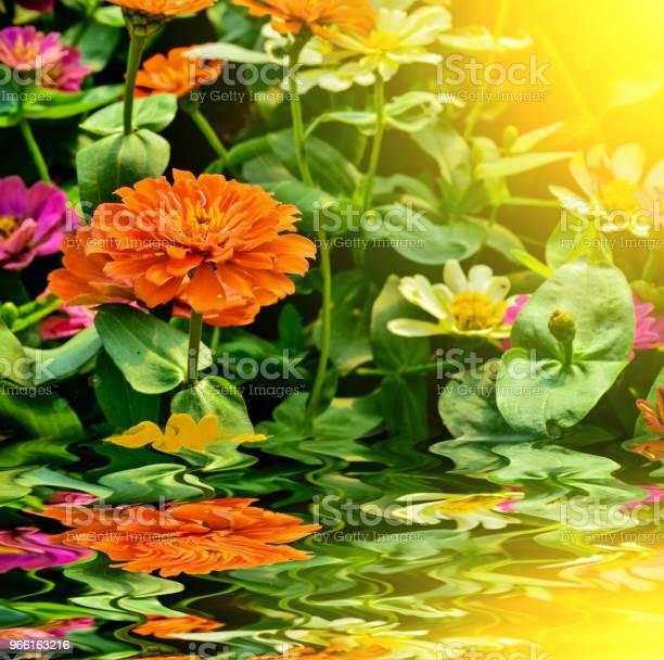 Vackra Ziniz Blomma I Trädgården-foton och fler bilder på Blomma