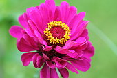 Beautiful Zinnia elegans or Youth-and-age or Common zinnia or Elegant zinnia flower in the garden.