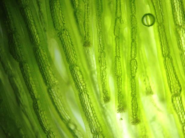 Zoom superbe cellule de micro-organisme algues - Photo