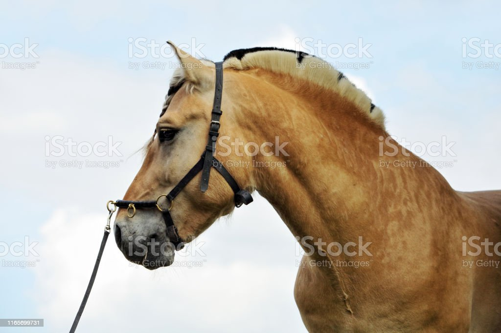 Beautifull Fjord Horse Norwegian Fjord Horse Stock Photo Download Image Now Istock