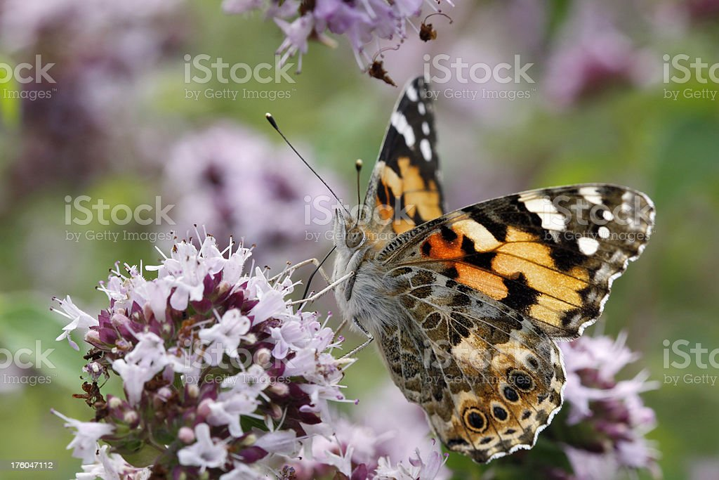 Beautifull Painted Lady butterfly stock photo