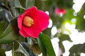 美しく花が咲く椿の花