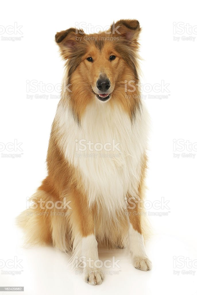 Beautifully groomed collie sitting stock photo