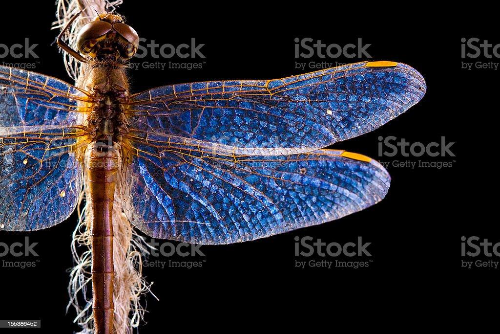 Wunderschön beleuchtete Libelle, auf schwarzem Hintergrund – Foto
