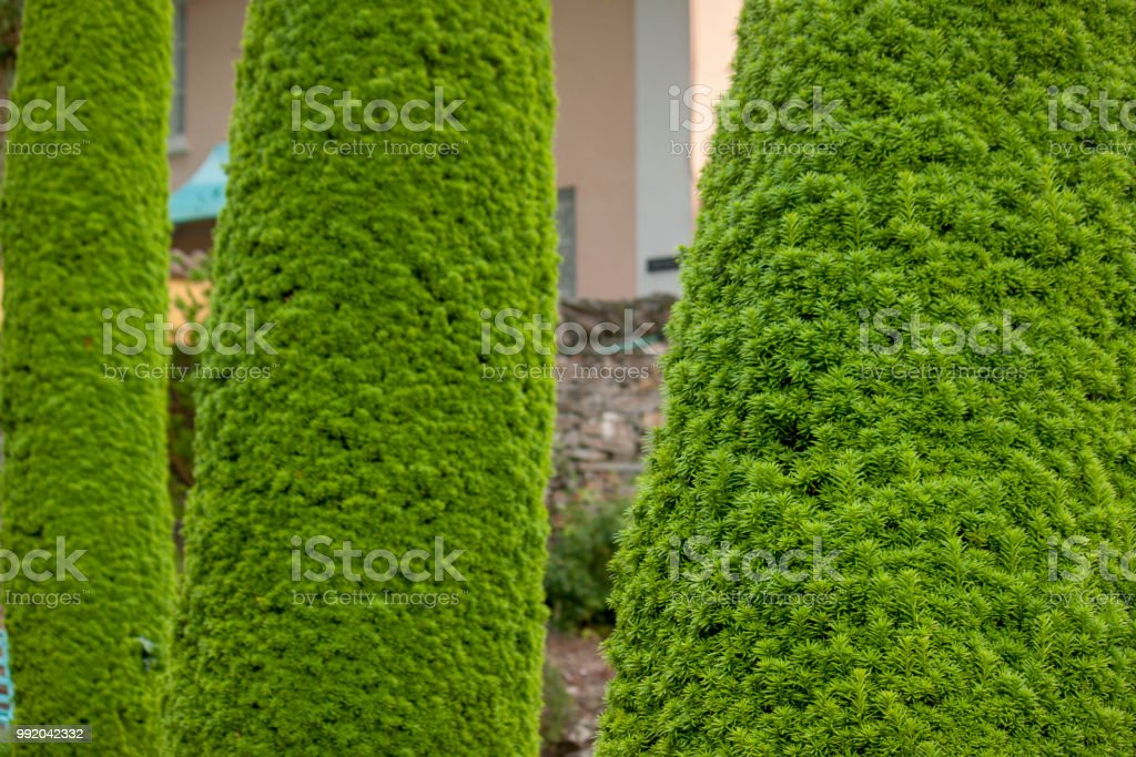 Beautifully pruned fir trees, in a row stock photo