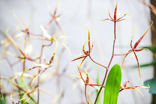Brassia orchid in spring