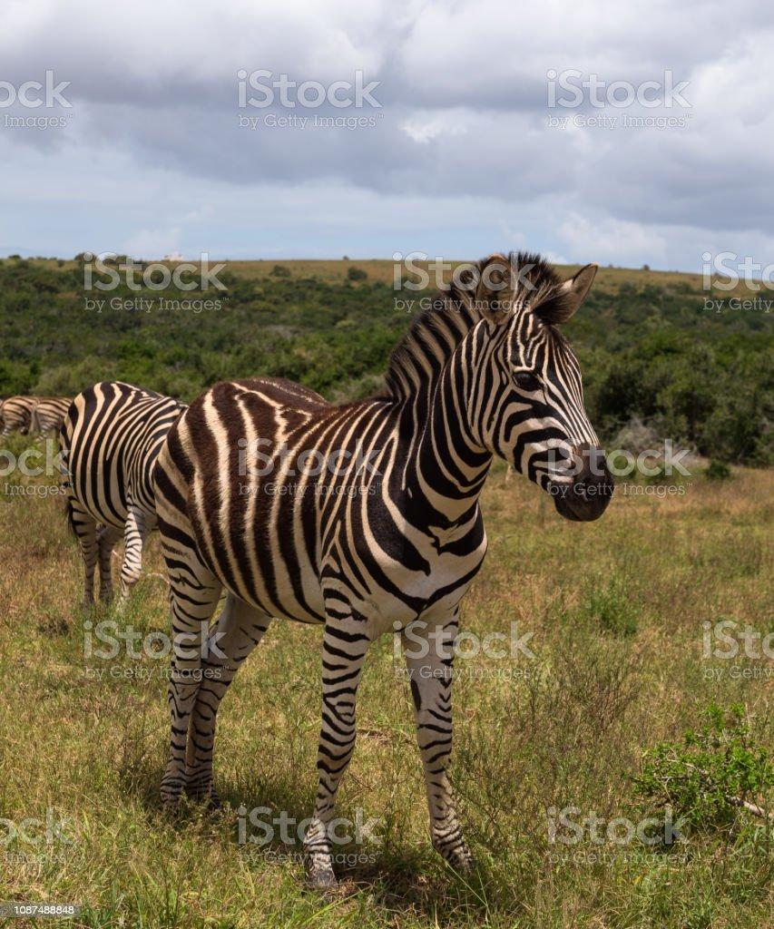 Beautifully striped zebra's wandering around in Addo Elephant Park stock photo