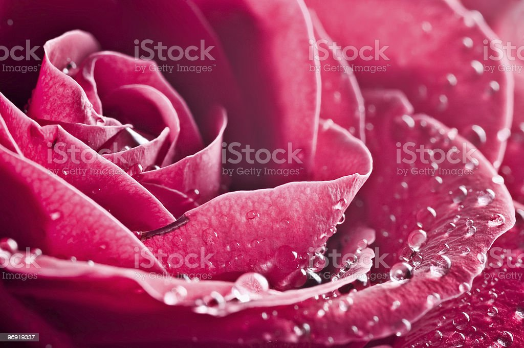 beautiul red rose with water drops royalty-free stock photo