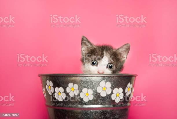 Beauty baby cat sticking out retro flower pot on pink background picture id846827082?b=1&k=6&m=846827082&s=612x612&h=qsm ainz9mzv2jrvvw9ki 8hzij0ex19pmabnwoq3tq=