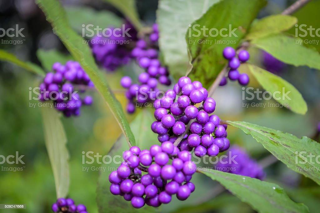 Beauty Berry - Callicarpa bodinieri branch stock photo