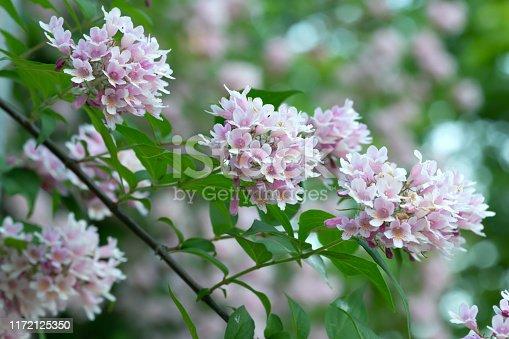 Blossoming beauty bush, Linnaea amabilis.