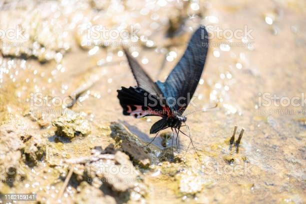 Beauty butterfly find and drink water in the wild at dry season picture id1162159141?b=1&k=6&m=1162159141&s=612x612&h=zvr146ubu8wgye sjyoqlhktkhbhhedlqjpdxlpzbeo=