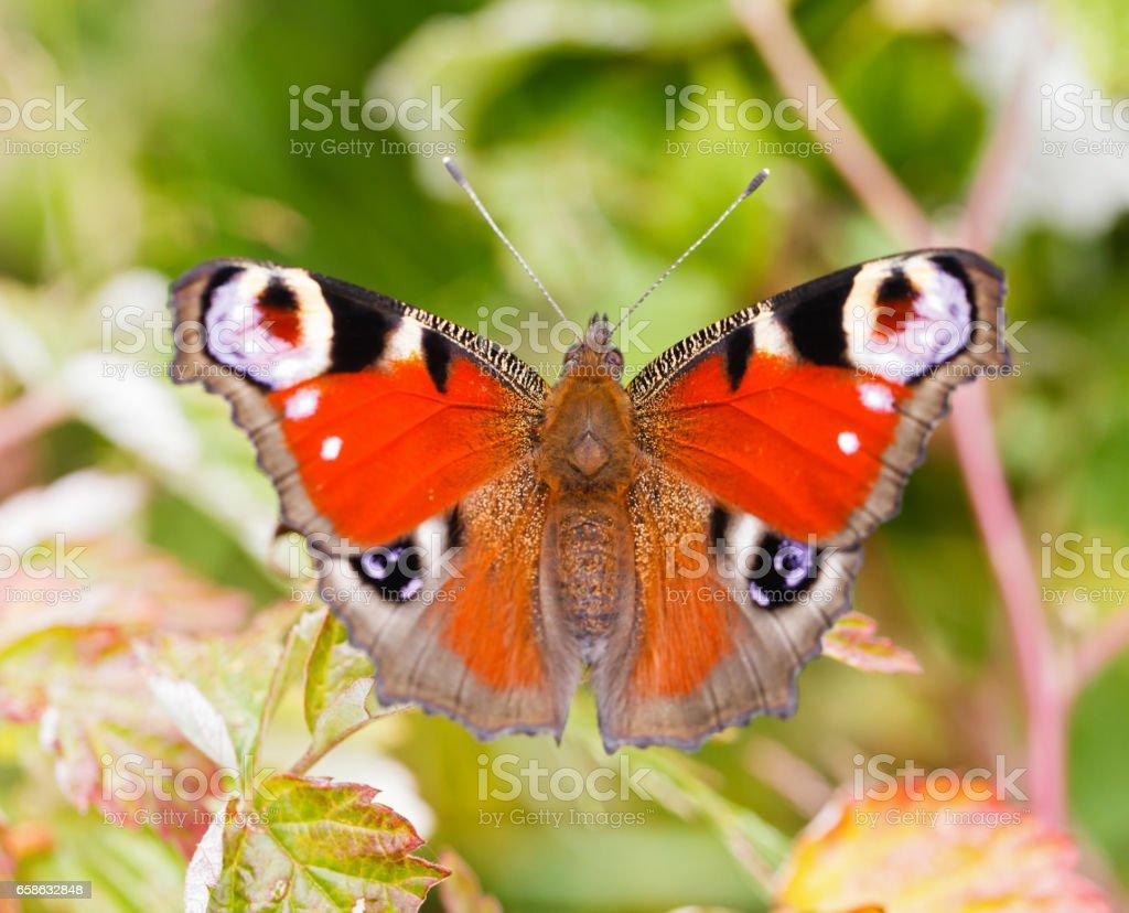 Beauty butterfly stock photo