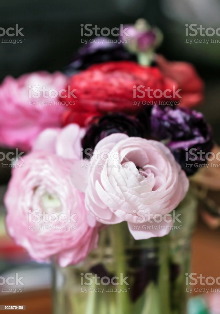 Beauty colorful ranunculus stock photo