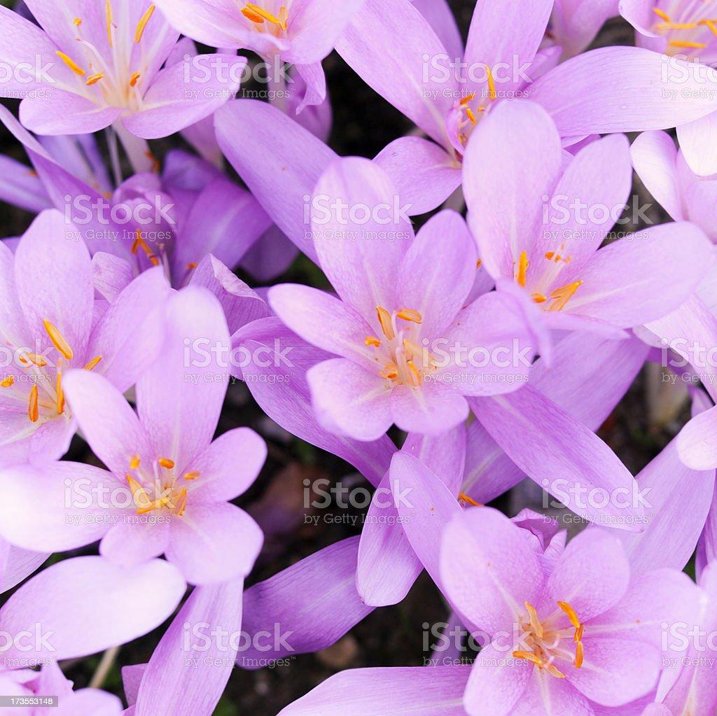 beauty crocus royalty-free stock photo