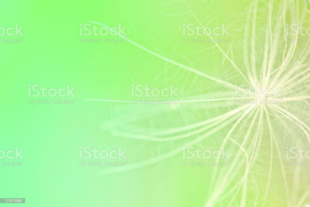 beauty dandelion royalty-free stock photo
