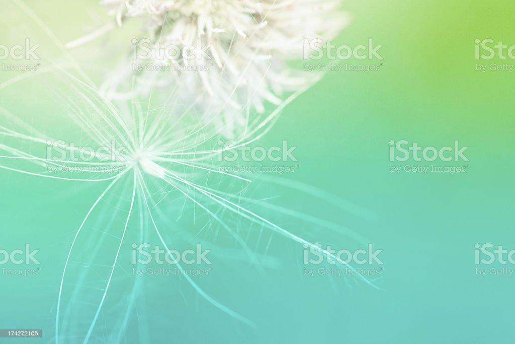 beauty dandelion royalty-free stock photo
