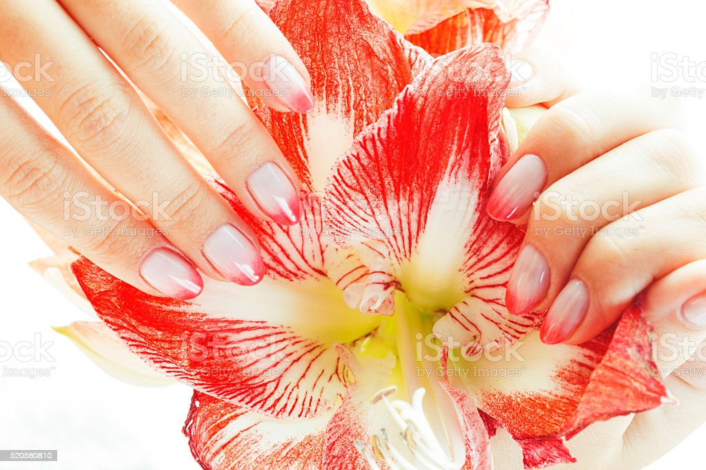 beauty delicate hands with pink Ombre design manicure holding flower stock photo