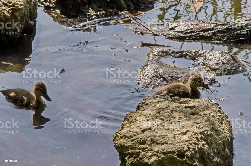 Beauty downy mallard ducklings swimming in the lake, South park royalty-free stock photo