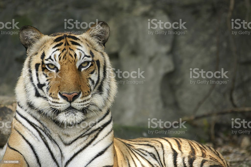 Beauty female Thai or Asian tiger close-up to face royalty-free stock photo