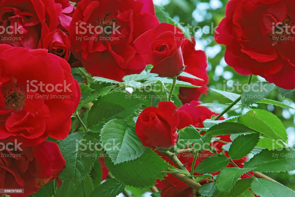 Beauty garden red roses royalty-free stock photo
