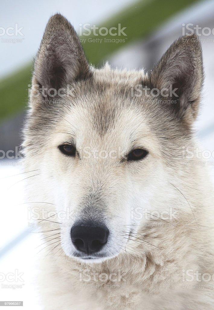 Beauty husky dog portrait royalty free stockfoto