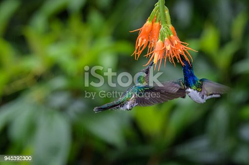 Two colorful hummingbirds hovering below an orange flower feeding on nectar, against a green background