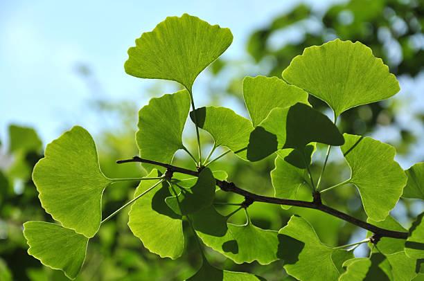beauty in nature - ginkgo stock-fotos und bilder