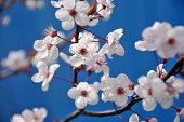Blossom white cherry flowers in spring