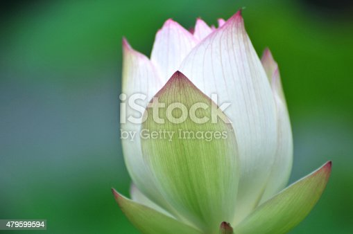 Close up of lotus flower bud