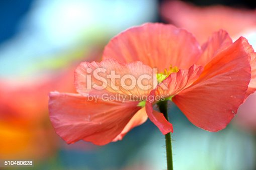 Blossom red poppy flowers