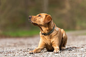 istock Beauty Labrador Retriever Dog is lying on the ground on a path outside in nature 1202115300